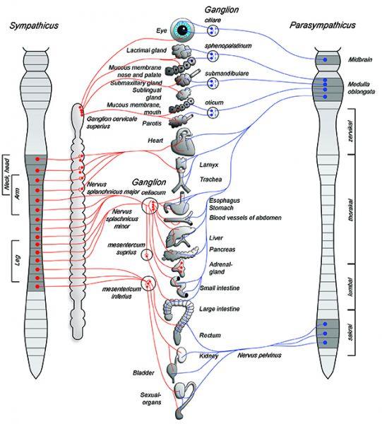 Autonomie Nervous System ANS wth Sympathies and Parasympathikus